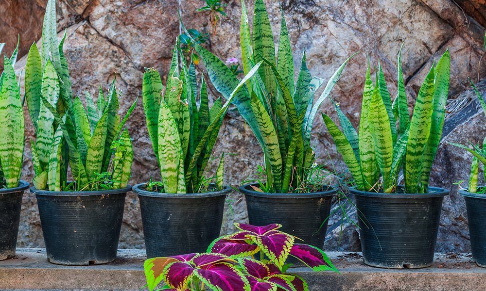a row of potted snake plants