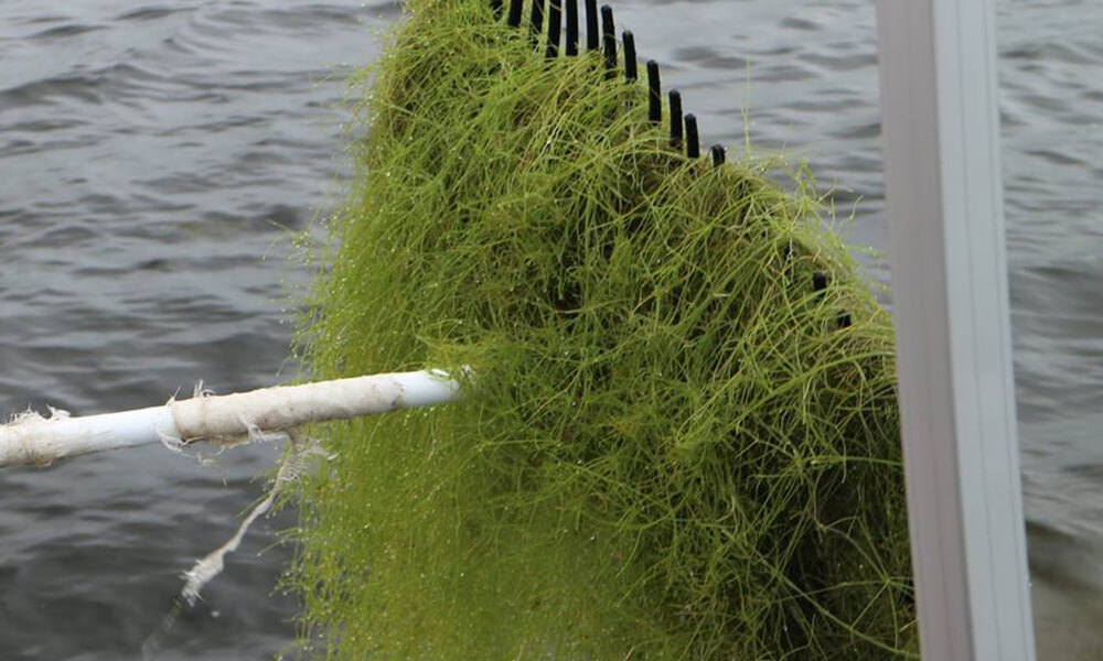 raking starry stonewort out of the water